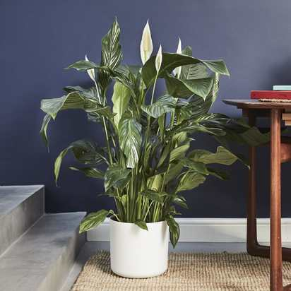 Peace lily 193211