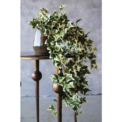 Rockettstgeorge faux variegated ivy plant lowres