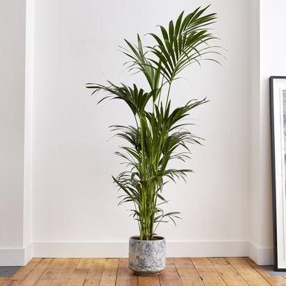 Kentia palm 23f150